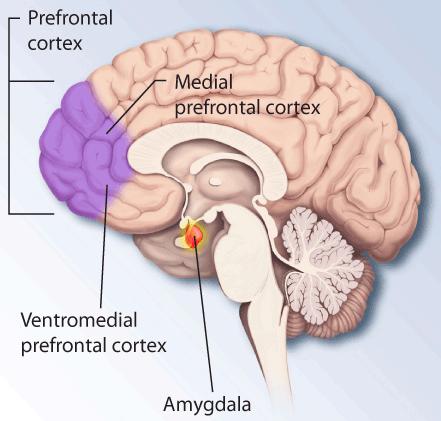 Amydgala and Prefrontal cortex